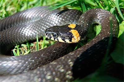 уж - змея не ядовитая